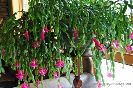 cactus  December 2012