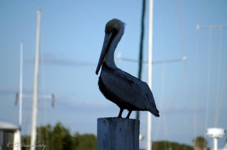 Pelican punta gorda fl