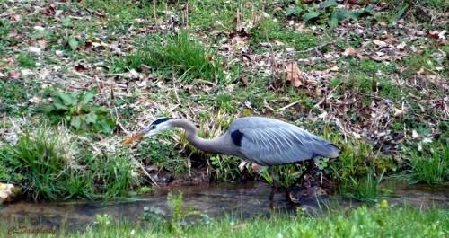 Great Blue Heron on Bobo Hollow Creek