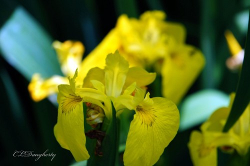 Yellow Iris at praycookblog.com