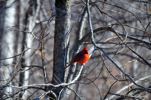 Wow! Redbird in Winter