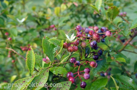 Blueberry Bush July
