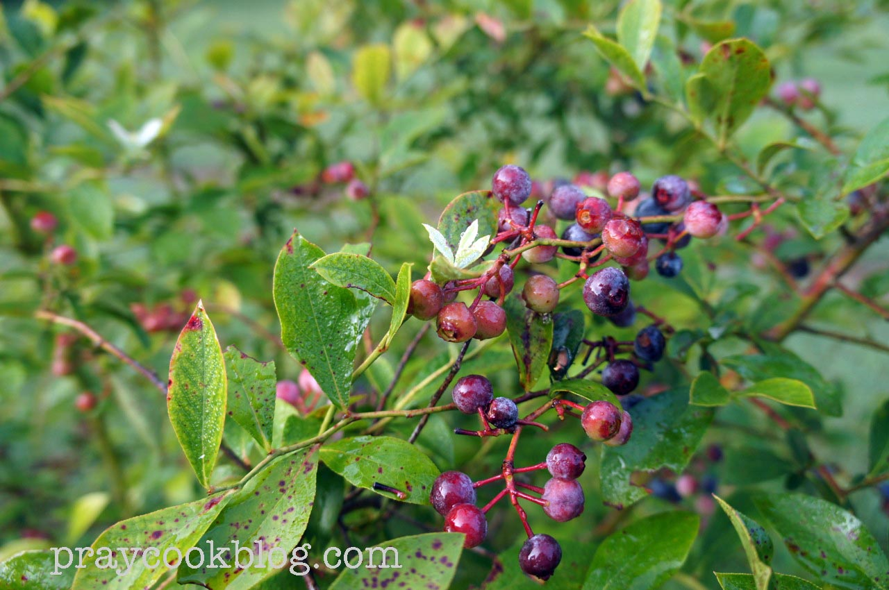 Lessons From The Blueberry Bush / Luke 15:4-7
