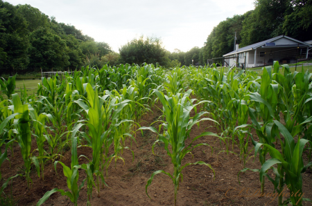 July Mushroom Corn