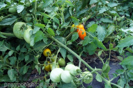 Roma Tomato July 22