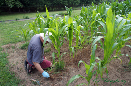 Weeding The Corn