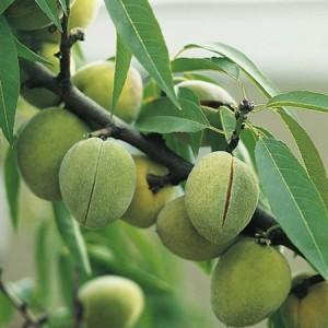 sweet-almond-mandaline-300x300