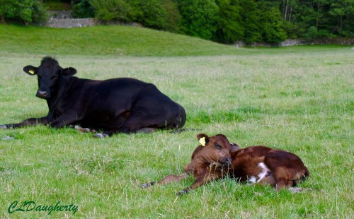 This little calf is sound asleep and didn't care at all that we were walking through his field.
