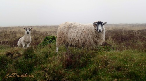 Sheep grazing on the moor.