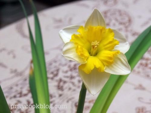 Forced Bulb Daffodil