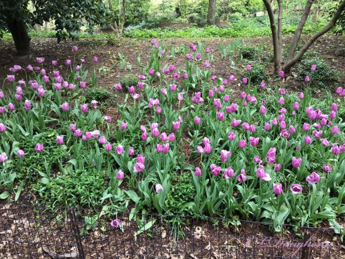 Spring Tulips In Central Park